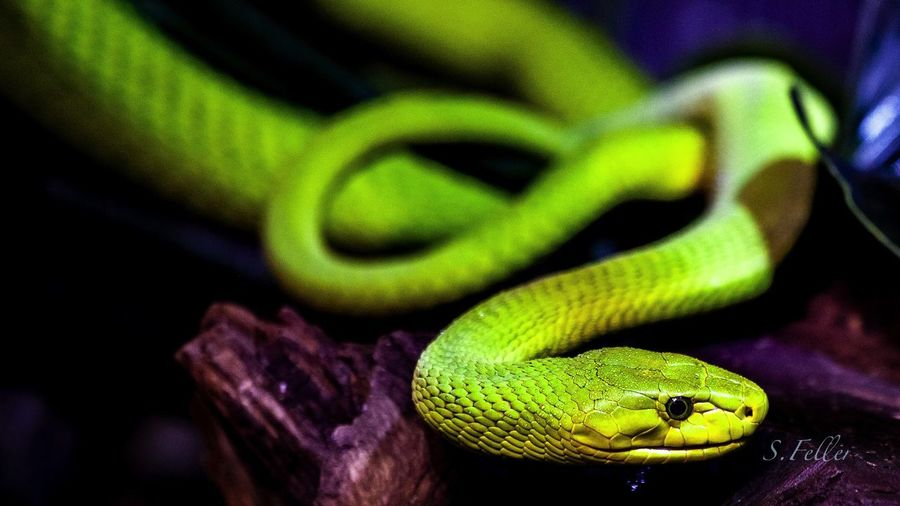 Animal Animal Themes Animal Wildlife Reptile Green Color One Animal Animals In The Wild Close-up No People Nature Poisonous Poison Zoo Zoology Reptile Hamburg Hagenbecks Tierpark Hamburg  Green Color Snake Animal Scale Danger Amphibian EyeEmNewHere