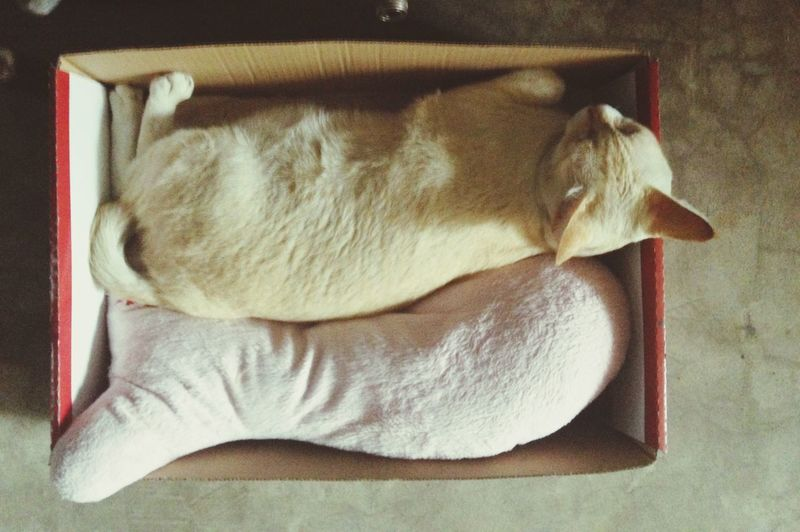 Cat in the box Silly Cat  In The Box Morning Nap Thai Street Cat Bangphlat Bangkok Sleepy Lazy White Cat Top Shot Top View Fit In Paper Box Fish Pillow