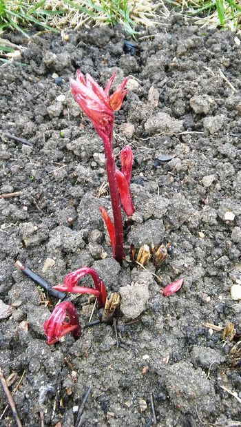 Sprout Beauty In Nature Change Close-up Day Elevated View Fallen Flower Fragility Ground Growth Isolated Color Leaf Leaves Nature No People Outdoors Petal Pink Color Plant Red