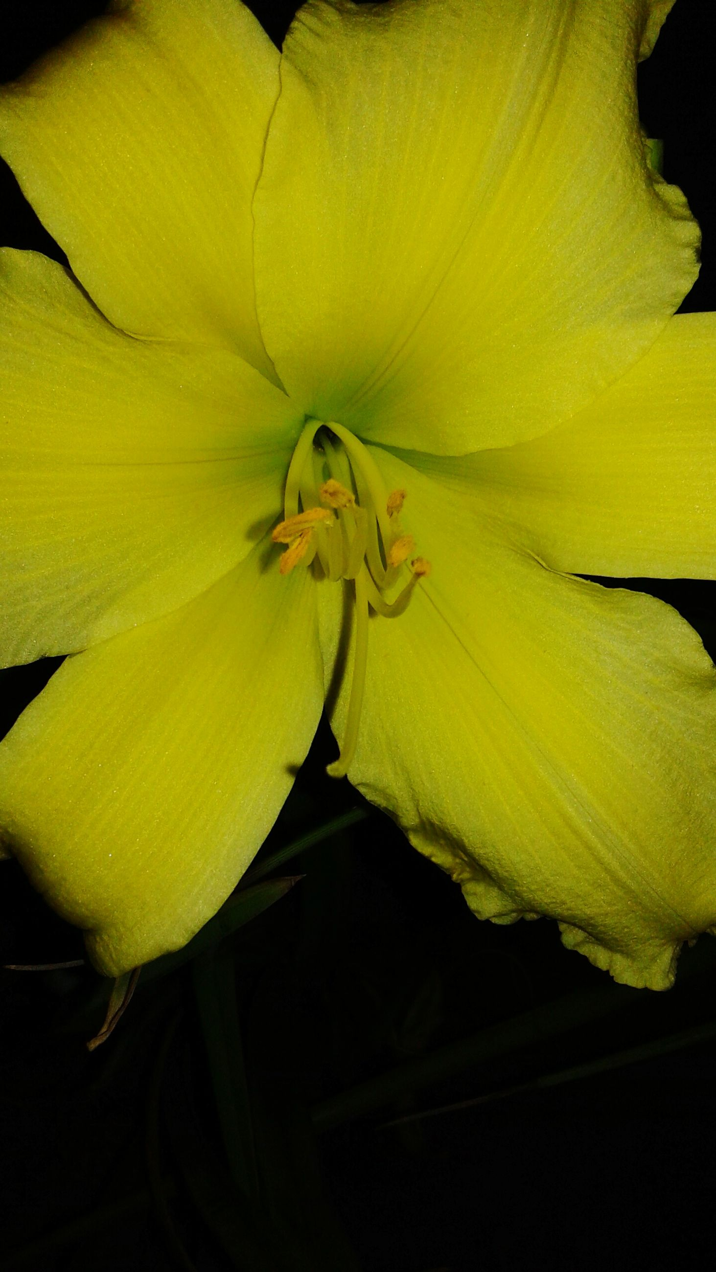 flower, petal, flower head, fragility, yellow, freshness, beauty in nature, nature, growth, pollen, close-up, no people, backgrounds, stamen, full frame, day lily, outdoors, day, plant, blooming, black background