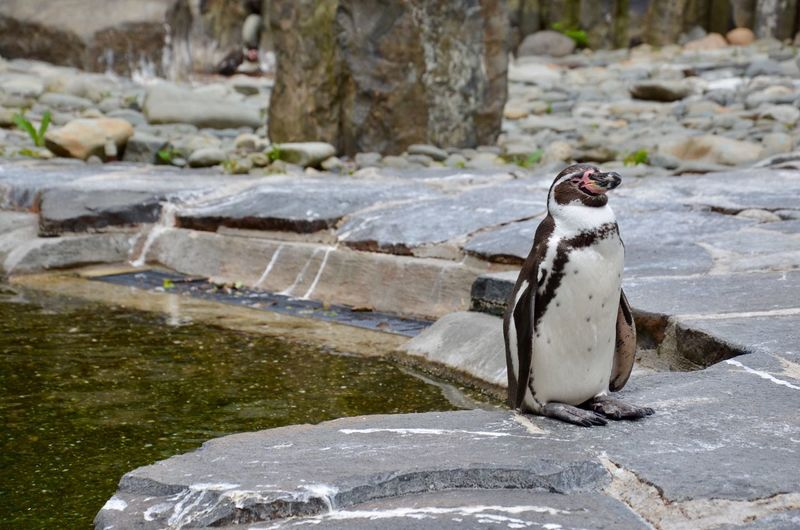 Humboldt Penguin By Pond At Zoo