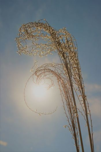Susuki Grass in Evening Sunlight Susuki Susuki Grass Wispy Sunlight Sky No People Low Angle View Nature Focus On Foreground Sun Flare Pattern Fragility Grass Spring Curls Curly Close-up Growth Dry Dry Grass Japan Heat Climate Change Hot Summer Day Summer My Best Photo