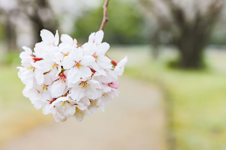 Cherry Blossom Bloom Beauty In Nature Blossom Branch Bunch Of Flowers Cherry Blossom Cherry Tree Close-up Day Flower Flower Head Flowering Plant Focus On Foreground Fragility Freshness Growth Nature No People Outdoors Petal Plant Pollen Springtime Tree Vulnerability  White Color