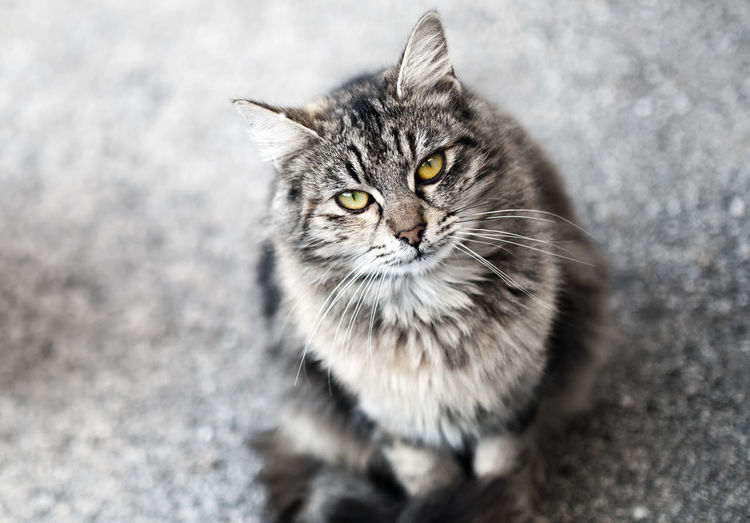 Cat Pets