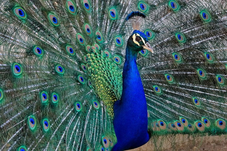 Feathers Galliformes Green Nature Ritual Beutiful  Bird Blue Ceremony Color Colorful Exibition Majestic Male Male Peacock Ornithology  Peackock Peafowl Phasianidae Plumage Pride Talent Tourquise Vibrant Wildlife