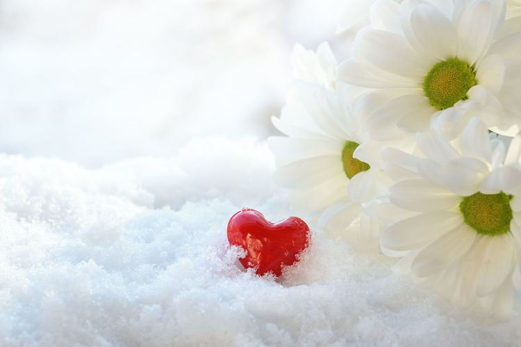Close-up of white rose on snow