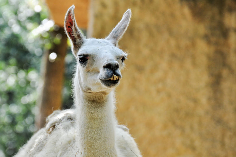 Portrait of llama standing outdoors
