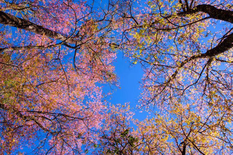 Tree Branch Plant Sky Beauty In Nature Growth Low Angle View Nature Autumn No People Springtime Blue Flower Blossom Clear Sky Flowering Plant Day Change Tranquility Outdoors Tree Canopy  Cherry Blossom Directly Below Cherry Tree