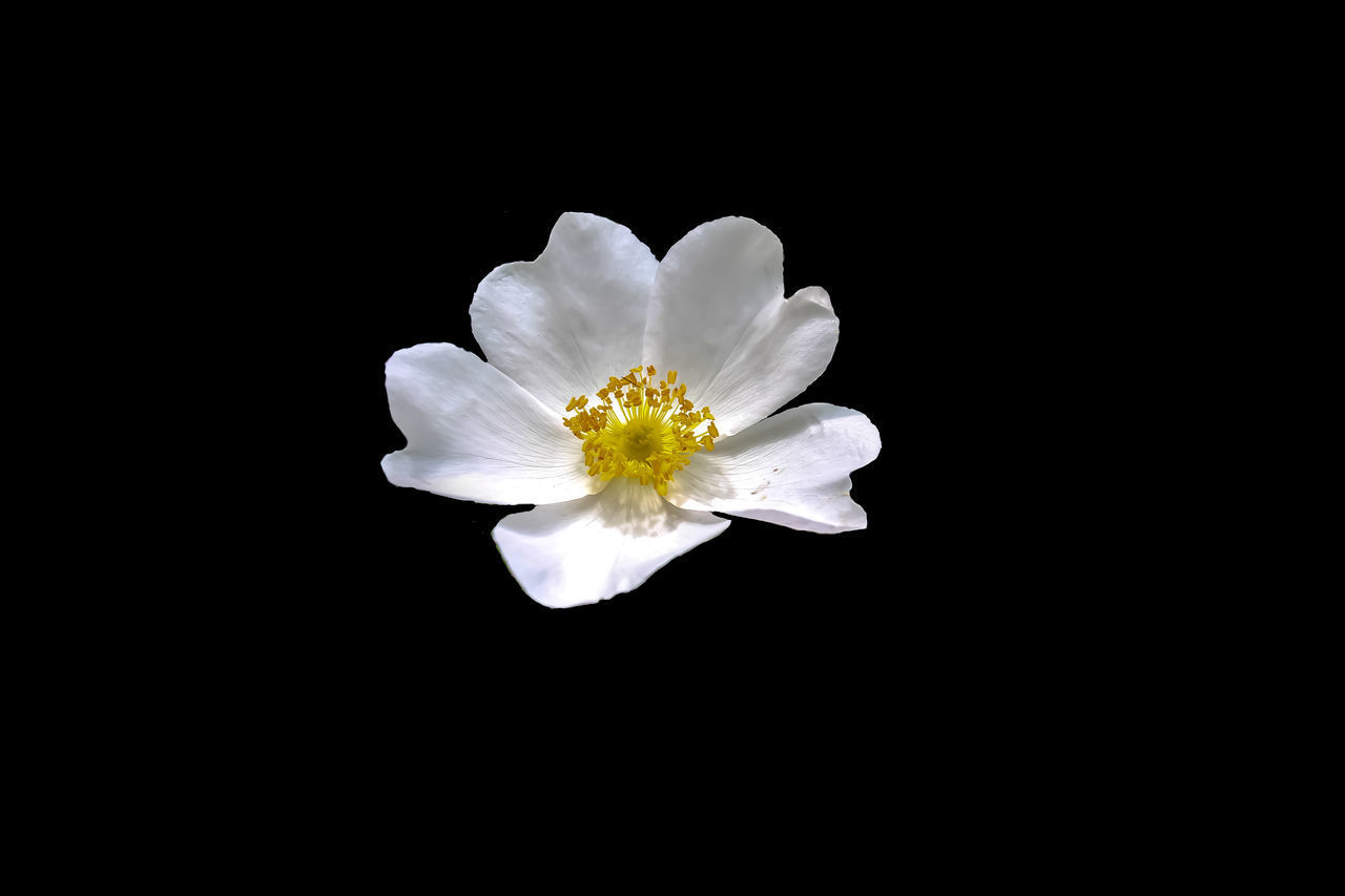 CLOSE-UP OF WHITE FLOWER IN BLACK BACKGROUND