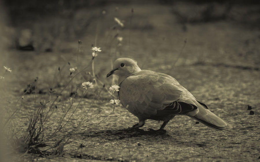 Gentle soft Dove ambling peacefully amongst the weeds and cracks of the sidewalk...looking for a worm, a bug..a snack perhaps. One eye on me...as always ;-) Birds Of EyeEm  Doves Animal Themes Animal Wildlife Animals In The Wild Bird Birds Blackandwhite Photography Blackandwhitephotos Bnw_collection Close-up Day Dove Dove In The City Doves, Birds Focus On Foreground Nature No People One Animal Outdoors
