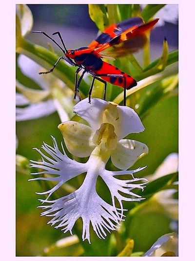 The endangered Prairie Fringed Orchid (Platanthera leucoohaea) known from fewer than six localities in Ohio, with Beetle taking flight! How fun is that!! Creative Light And Shadow Macro_collection Macro_flower Landscape #Nature #photography EyeEm Nature Lover Wildflowers Endangered Species