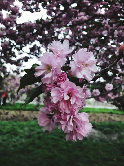 Flower Beauty In Nature Nature Tree Sacura No People Day First Eyeem Photo
