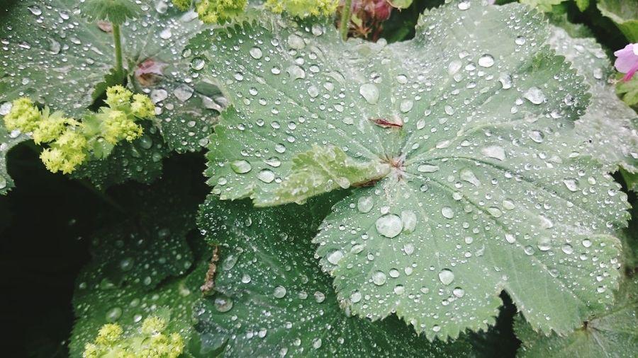 Rain drops on a leave Water Waterdrops Flowers,Plants & Garden Garden Flowers Natural Beauty Rsin Drops Flowers Leaves Nature