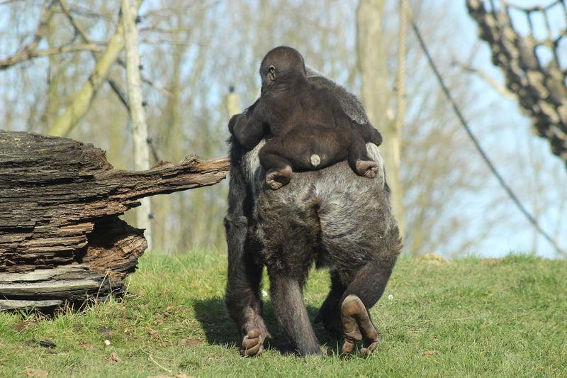 Streamzoofamily Animalposing Gorilla Gaiazoo