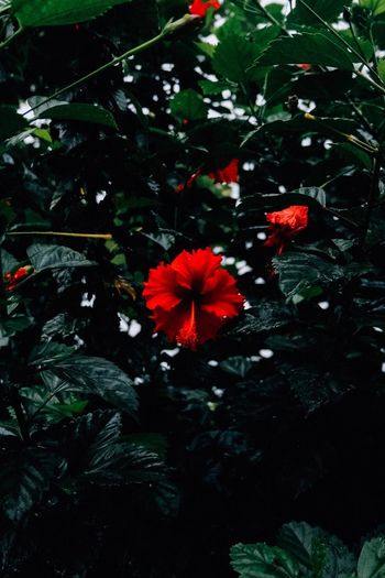 Blooming red flower Plant Beauty In Nature Flower Growth Flowering Plant Freshness Nature Plant Part Red Petal Flower Head Leaf