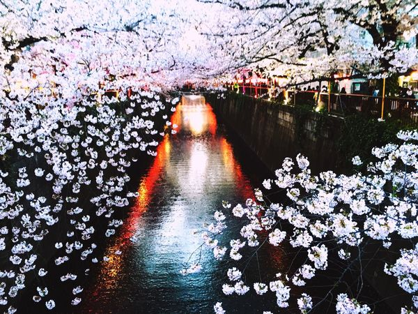 The cherry tree of the evening. It is along a river, and I burn, and the light of the lantern is very beautiful.🌸