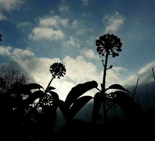 Mobile Photography The Purist (no Edit, No Filter) Taking Pictures Taking Photos This Week On Eyeem Flowers Silhouettes Silhouette Eye4photography  Eyemphotography Eyeemphotography Sunshine Clouds & Sky December 2015 United KingdomLavendon Showcase: December