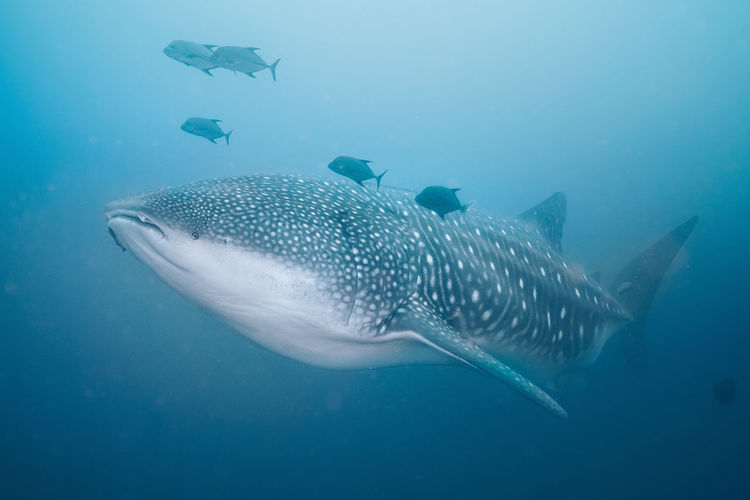 Sea Underwater Animal Fish Water Animal Themes Animal Wildlife UnderSea Marine Animals In The Wild Shark Sea Life Whale Shark Swimming Vertebrate One Animal No People Nature Blue Outdoors