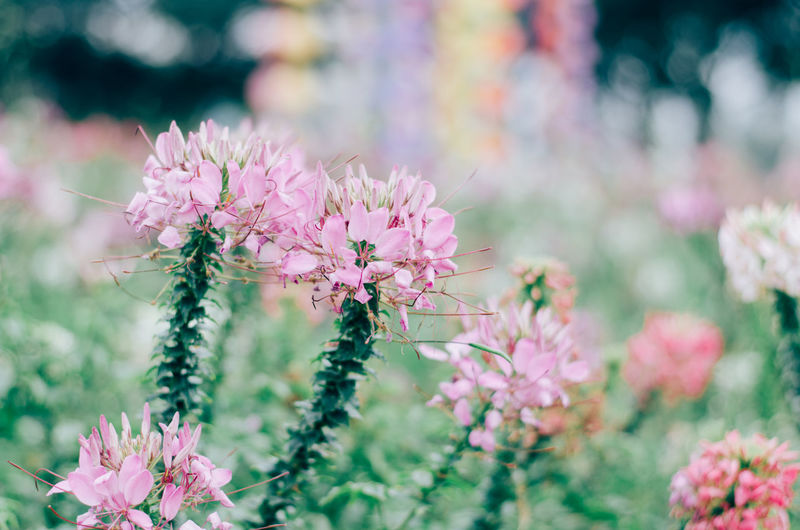 Bokeh Background Bokeh Lights Bokeh Blurred Background Purple Softness Springtime Outdoors Pink Color Vulnerability  Freshness Plant Flower Verdure Flora Floret Blooming Bloom Blooming Flower Filtered Image Filtered Photo
