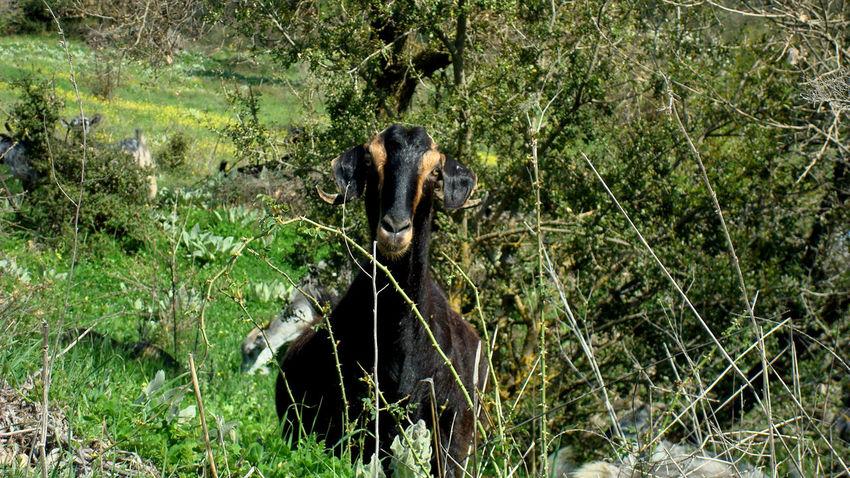 Animal Animal Themes Field Goat Grass One Animal Wildlife Zoology