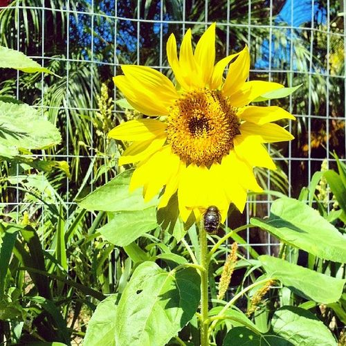 I spy... With my little eye... A bumble bee! Do you? Sunflowers Happyflowers