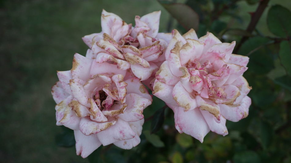 Rose🌹 Pink Rose Pink Flower Flowers Botany Leaf Flower Head Flower Pink Color Close-up Plant Plant Life Blooming Petal