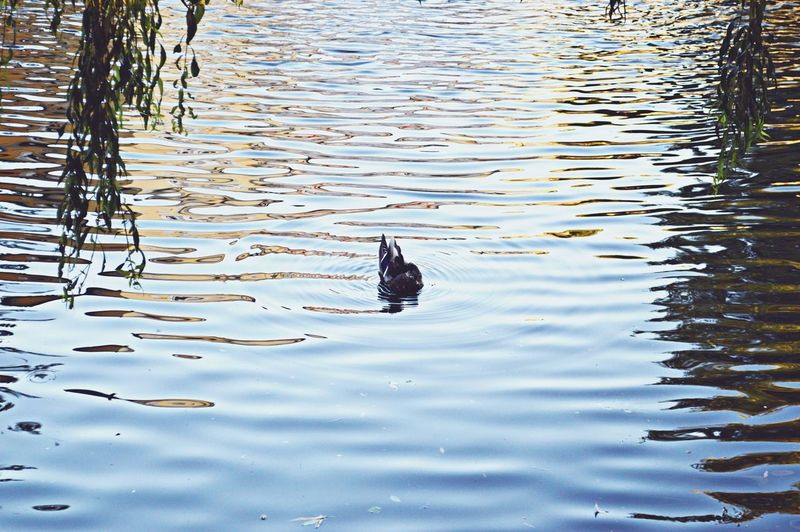 Swimming One Animal Duck Bird Water Water Bird Lake Nature Day Outdoors Park City Eyeemphotography Hello World ✌ Bolesławiec Around Me Nikon D3200 Nikonphotography Hobbyphotography Comehere Myhome My Photography Duck Photography Ducks At The Lake Alone