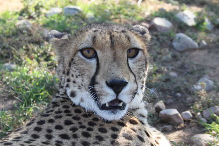 Endangered  Hunter Africa Animal Animal Themes Animal Wildlife Animals In The Wild Cat Cheetah Close-up Day Endagered Species Fast Focus On Foreground Looking At Camera Mammal Nature No People One Animal Outdoors Portrait Safari Animals Speed Wild Wildcat