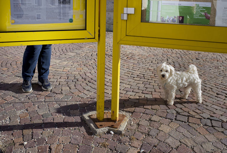Low section of man standing by white dog with notice board on street