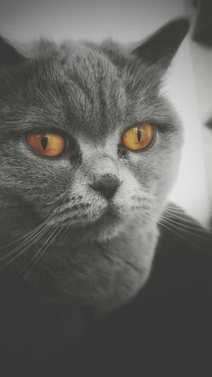 BrianArlt One Animal Animal Themes Domestic Cat Yellow Eyes Animal Body Part Close-up Domestic Animals Animal Eye Looking At Camera Portrait No People Black & White Amber Mobile Photography Filter
