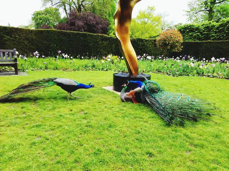 LONDON❤ Holland Park Japanese Garden Peacock Nature