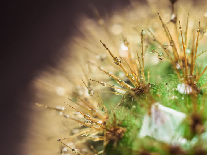 Detail Dew Drop Drops Water Macro Macro Photography Green Green Color Background Garden Plants Nature Leaves Flower Cactus Uncultivated Prickly Pear Cactus Thorn Close-up Plant Needle - Plant Part Barrel Cactus Spiked Succulent Plant Sharp Spiky Dew Saguaro Cactus Spider Web