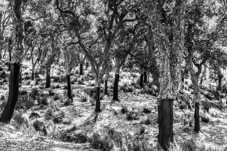 Bark Beauty In Nature Black And White Black And White Photography Branch Cork Tree Cork Trees Day Forest Growth Landscape National Park Nature No People Outdoors SPAIN The Great Outdoors - 2017 EyeEm Awards Tranquility Tree Andalucía Trees BYOPaper! Oak Cork Oak Cork Oaks