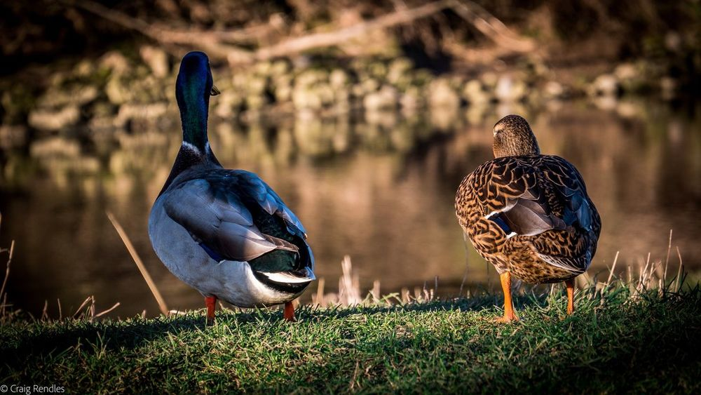 Bird Animals In The Wild Grass Animal Themes Animal Wildlife Field Nature Outdoors Duck No People Day Beauty In Nature Togetherness Close-up Love friendship