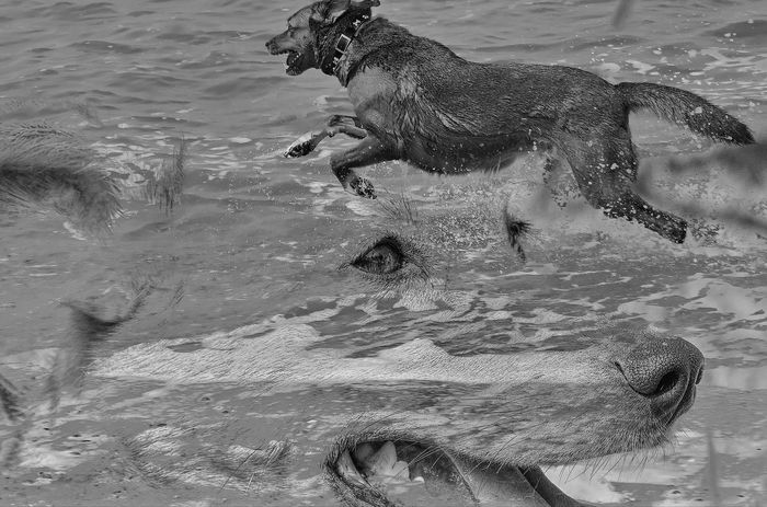 dog running in the sea 3D Animal Themes Beach Black & White Black And White Black And White Photography Blackandwhite Dog Dogs Dogslife Montage Motion No People Outdoors Portrait Running Sea Water EyeEmNewHere Animals