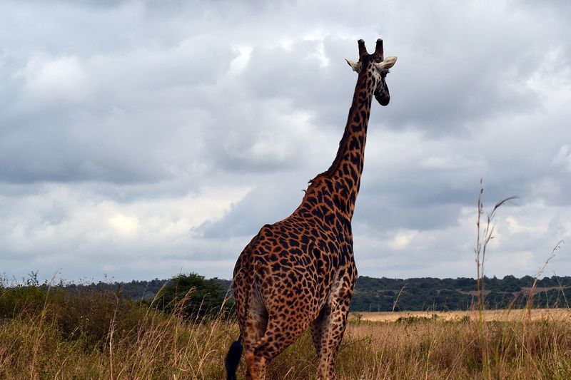 Animals In The Wild Cloud - Sky Mammal Animal Themes Grass Sky Nature Animal Wildlife Day One Animal Safari Animals Standing No People Outdoors Landscape Beauty In Nature Cheetah Giraffe
