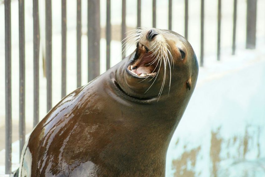 For The Love Of Music Seal Laughing Animals Happy Time Zoo Animals  Ueno Zoo Nature Photography Getting Inspired Laugh Rethink Things Second Acts Cute Seal Seal - Animal