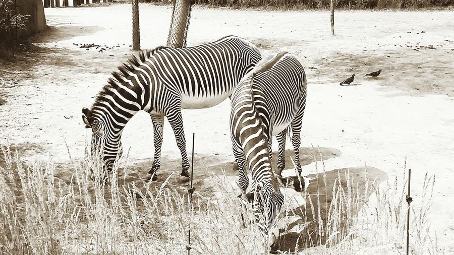 Black And White Collection  Black And White Animals Vincennes Zoo Animals Twins Animals Lover Zebra Crossing Zebra Stripes Zebras Eyem Gallery Eyem Nature Two Is Better Than One Eyem Best Shots Zoophotography Animal Themes Animal Photography Zoo Animals  Blackandwhite Photography Black And White Portrait Animals