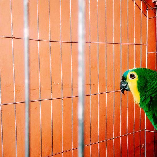Orange Animals Animal Arara Gaiola  Laranja Verde Green