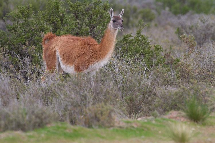 Llama standing on field