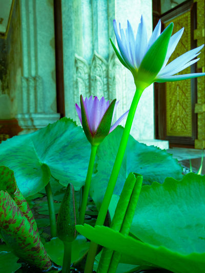 Flower Growth Nature Plant Beauty In Nature Green Color Freshness Leaf Purple Flower Head Blooming Outdoors Close-up 3XSPUnity Blossoming  Water Lily Young And Old P9 Huawei