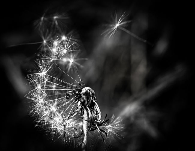A Midsummer Nights Dandelion Dream Bursting Gust Seed Black Blowing Bnw Breeze Breeze Of Freedom Close-up Dandelion Detail Drift Dry Explode Floating Flower Head Macro Motion Nature Puff Softness Spark Spring Summer White