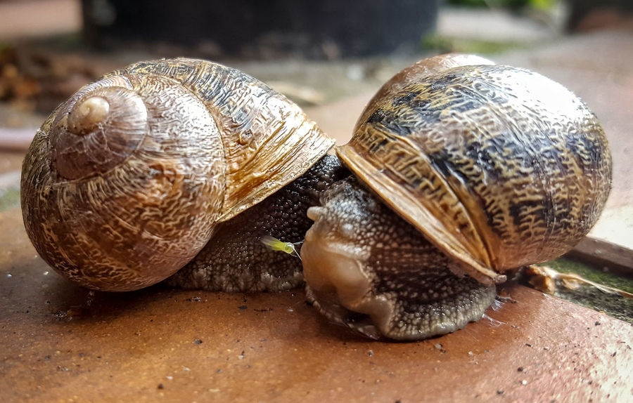 Animal Shell Beauty In Nature Close-up Day Focus On Foreground Freshness Gastropod Mating Messy Nature No People Outdoors Shell Snail Snails Mating Zoology