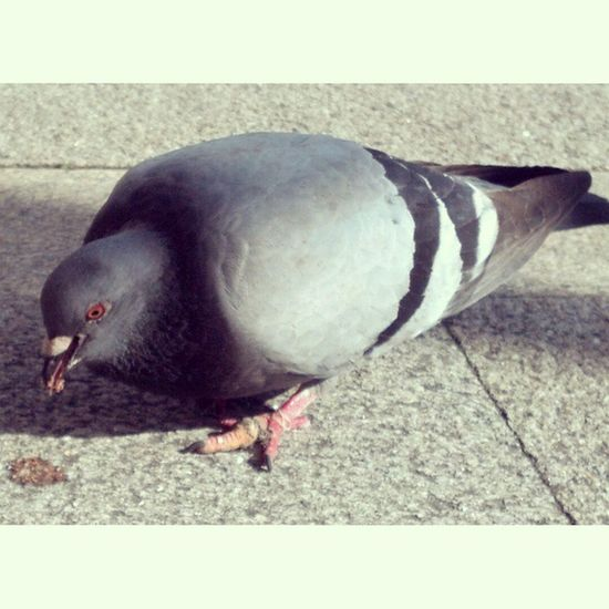 Instasize Pombas_brancas_da_cidade Instatigas Cortejo Vida_animal Fly_bird Instapic Viana