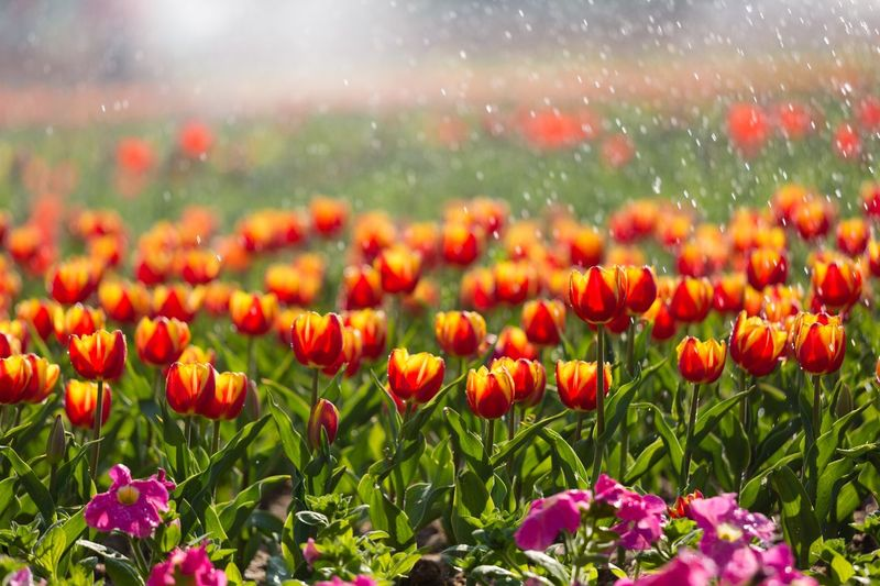 tulip Flowering Plant Flower Plant Growth Beauty In Nature Freshness Field Nature Flower Head Close-up No People Red Water