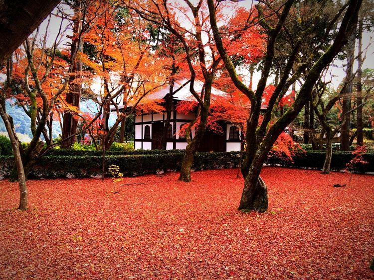 まだ紅葉に未練があって期待をせずに見に行ったら、こんな良い物に出会えました 紅葉 京都Japan 真如堂 寺社仏閣