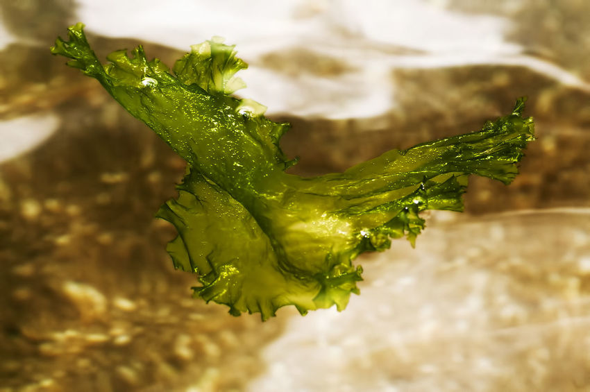 green algae floating by the sea Algae Background Beauty In Nature Close-up Fragility Green Algae Green Color No People Outdoors Sea Food Seafood Sensitivity Water