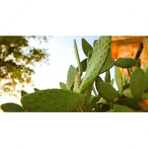 Cactus Village 🚜. Autumn Picoftheday . Luvpeacestrongfree . LHAYL7AFI 04 . Instagood Instagram . LIKETHEPIC . Peace ✌