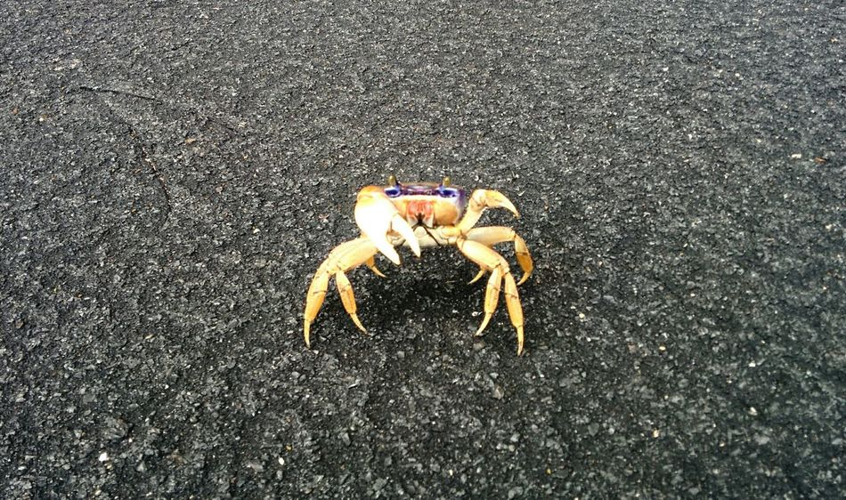 Come At Me Bro Ready To Fight Crab Crossing The Road Adorable