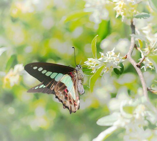 君に会いたくて… 今日もまた君を探してる… アオスジアゲハ 蝶々 Butterfly Collection Butterfly - Insect Insect Collection EyeEm Nature Lover Beauty In Nature EyeEm Best Shots EyeEm Gallery Eyemphotography My Point Of View EyeEm Best Shots - Nature Taking Photos